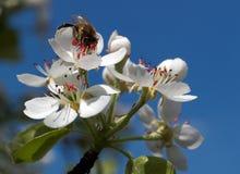 Gathering nectar Stock Photo