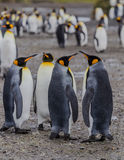 A gathering of 2 pairs of King penguins, standing. And beginning the mating ritual. Penguins mate for life Royalty Free Stock Photography