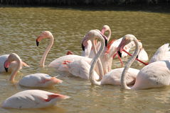 Gathering of pink flamingos Stock Images