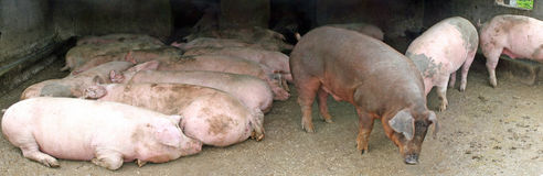 Gathering of pink pigs inside a filthy pigsty with mud Royalty Free Stock Images