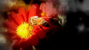 Gathering Pollen From A Chrysanthemum royalty free stock image