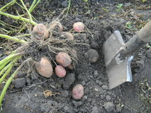 Gathering of potato crop. With spade in kailyard Royalty Free Stock Image