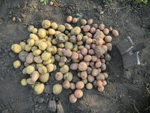 Gathering of potato harvest Stock Images