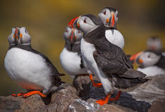 A gathering of puffins Royalty Free Stock Images