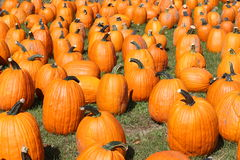 Gathering of pumpkins Royalty Free Stock Photos