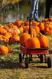Gathering pumpkins in a wagon at the pumpkin patch Royalty Free Stock Image