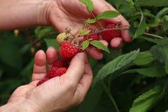 Gathering raspberries in the garden stock image