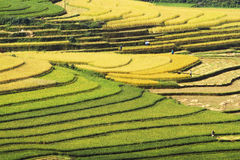 Gathering rice on terraced fields Royalty Free Stock Photo