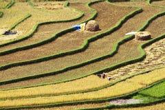 Gathering rice on terraced fields Stock Photos