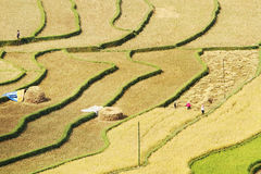 Gathering rice on terraced fields Royalty Free Stock Images
