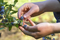Gathering Ripe Blueberries Stock Image