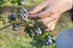 Gathering Summer Blueberries Royalty Free Stock Photos