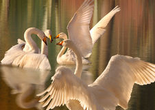 A gathering of Swans. Four magnificent and elegant Whooper Swans gather together on a lake Royalty Free Stock Photography
