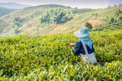 Gathering of tea of a grade of Puer Stock Photography