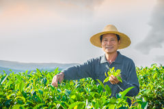 Gathering of tea of a grade of Puer Royalty Free Stock Image