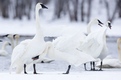 Gathering of trumpeter swans Royalty Free Stock Photography