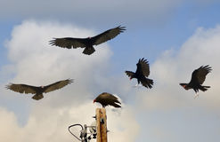 A Gathering of Vultures Above a Telephone Pole Royalty Free Stock Images