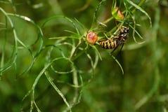Gathering wasp Stock Image