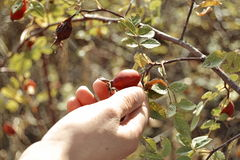 Gathering wild rose Stock Photography