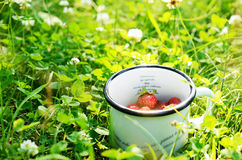 Gathering wild strawberry in summer forest clearing Stock Photo