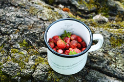 Gathering wild strawberry in summer forest Stock Photo