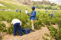 Gathering Wine Royalty Free Stock Image