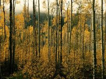 Gathering of Yellow Aspen Trees in the Fall. Gathering of Yellow Aspect Trees in during the Fall in Aspen, Colorado with a foggy background due to a storm royalty free stock photos