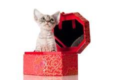 Gatinho adorável do rex de Devon em uma caixa vermelha Imagem de Stock