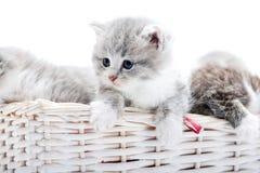 Gatinho adorável macio cinzento pequeno que é curioso e que olha ao lado quando outro que joga junto no vime branco Fotografia de Stock Royalty Free