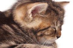 Gatinho adormecido Imagens de Stock Royalty Free