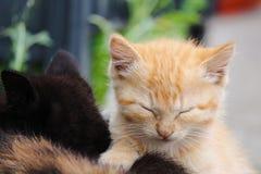 Gatinho alaranjado pequeno adorável do gato malhado com os olhos fechados, ao lado de seu irmão preto do gatinho foto de stock