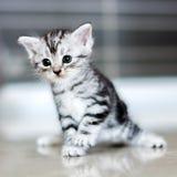 Gatinho americano bonito do gato do shorthair Imagens de Stock