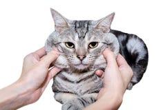 Gatinho americano bonito do gato do shorthair Imagens de Stock Royalty Free