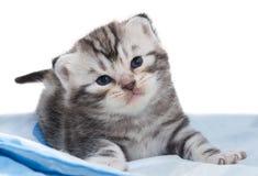 Gatinho americano bonito do gato do shorthair Fotos de Stock Royalty Free