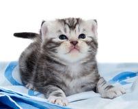 Gatinho americano bonito do gato do shorthair Fotografia de Stock