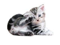 Gatinho americano bonito do gato do shorthair Foto de Stock