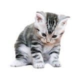 Gatinho americano bonito do gato do shorthair Imagem de Stock Royalty Free