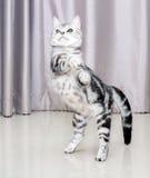 Gatinho americano bonito do gato do shorthair Imagem de Stock