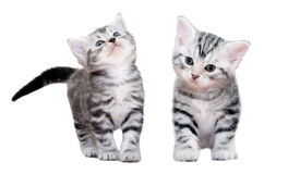 Gatinho americano bonito do gato do shorthair Isolado no fundo branco Foto de Stock Royalty Free