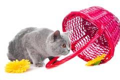 Gatinho azul britânico com cesta cor-de-rosa Fotos de Stock