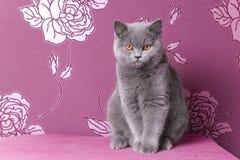 Gatinho azul britânico do shorthair em um fundo cor-de-rosa Fotografia de Stock Royalty Free
