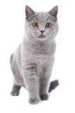Gatinho azul britânico no branco Imagens de Stock Royalty Free
