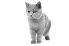 Gatinho azul britânico no branco Imagens de Stock
