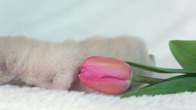 Gatinho bege do birmanês com uma tulipa cor-de-rosa vídeos de arquivo