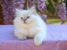 Gatinho bonito bonito de Ragdoll com flores das glicínias Foto de Stock Royalty Free