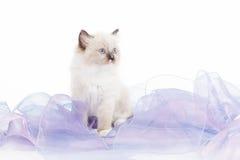 Gatinho bonito de Ragdoll Fotografia de Stock Royalty Free