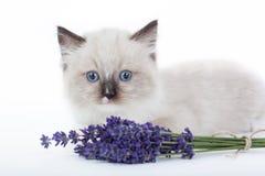 Gatinho bonito de Ragdoll Imagens de Stock Royalty Free
