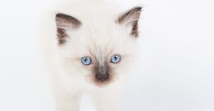 Gatinho bonito de Ragdoll Foto de Stock