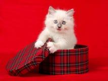 Gatinho bonito de Ragdoll na caixa de presente do tartan imagem de stock royalty free
