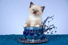 Gatinho bonito de Ragdoll no grande copo azul Foto de Stock